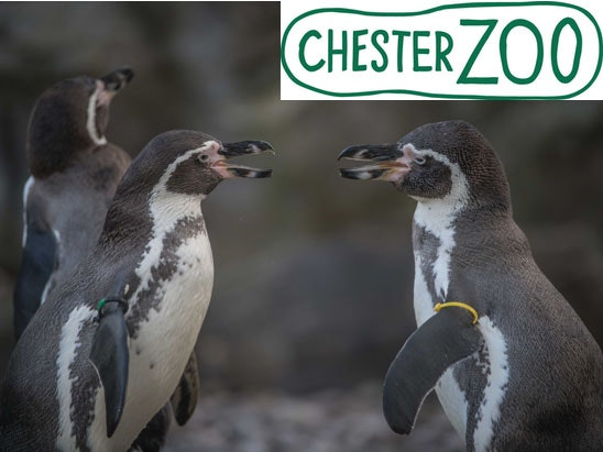 Meet the Penguins Experience at Chester Zoo sweepstakes