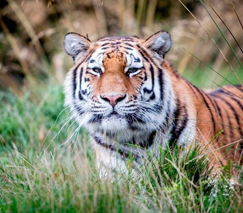 Minerva amur tiger woburn safari park